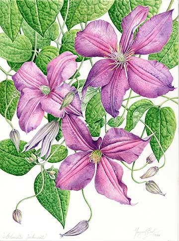 Clematis, copyright 2008, Margaret Best