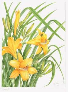 Hemerocallis (Day Lily), copyright 2008 by Margaret Best