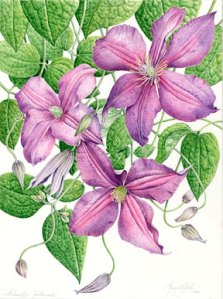 Clematis, Margaret Best. Watercolor, all rights reserved.