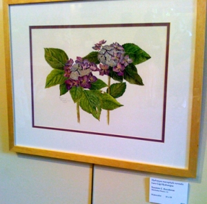 Sue Kuuskmae's watercolor, Lace Cap Hydrangea