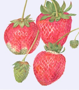 Strawberries, by Sally Jacobs, watercolor, © 2010, all rights reserved.
