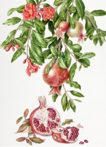 Watercolor painting by Akiko Enokido, Pomegranate, Punica granatum, © 2010, all rights reserved.