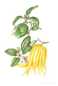 Buddha's Hand, Citrus medica var. sarcodactylus, watercolor by Akiko Enokido, © 2011, all rights reserved.