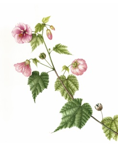 Abutilon, Flowering Maple (Rosy Dewdrops) by Mitsuko Schultz, watercolor, © 2012, all rights reserved.
