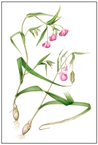Calochortus amoenus (Rosy Fairy Lantern), watercolor by Joan Keesey, © 2012, all rights reserved.