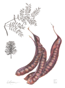 Honey Locust, by Estelle DeRidder, colored pencil, © 2012, all rights reserved