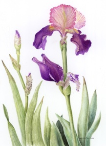 Iris, by Suzanne Kuuskmae, © 2012 all rights reserved
