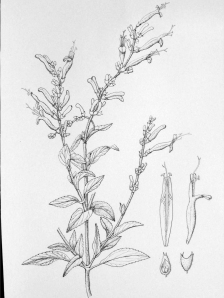Salvia 'Hot Salsa' by Joan Keesey, pen and ink, © 2012