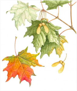 Sugar Maple by Margaret Best