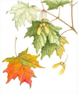 Sugar Maple by Margaret Best