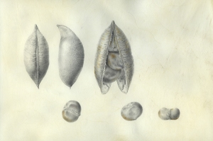 """Castanospermum australe,"" Blackbean, or Moreton Bay Chestnut, seed pod and seeds, Graphite and Watercolor on Vellum by Deborah B. Shaw, © 2013, all rights reserved."
