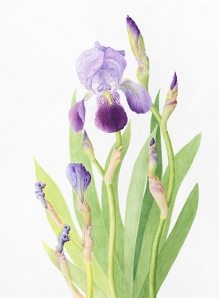 """Iris,"" Iris, watercolor by Alison L. Denning, © 2013, all rights reserved."