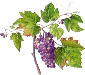 """Vitis vinifora,"" Grapes, watercolor by Suzanne C. Kuuskmae, © 2013, all rights reserved."