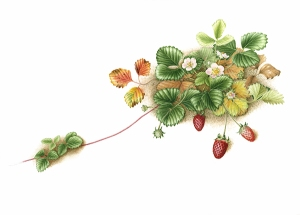 """Fragaria x ananassa 'Fragoo Pink',"" Strawberry, watercolor by Mitsuko Schultz, © 2013, all rights reserved."