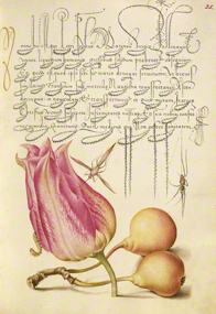 "Insect, Tulip, Caterpillar, Spider, Pear, Joris Hoefnagel, Illuminator; Georg Bocskay, scribe. From the ""Gardens of the Renaissance"" exhibition. © 2013, The J. Paul Getty Museum, Los Angeles."