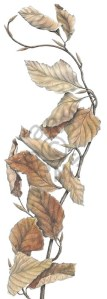 Beech Leaves, coloured pencil by Ann Swan. © 2013, all rights reserved.