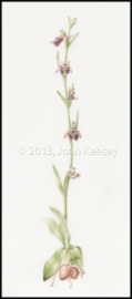 Bee Orchid, Ophrys apifera, watercolor by Joan Keesey, © 2013, all rights reserved.