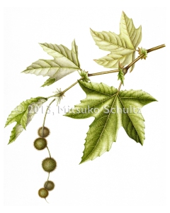 """Plantanus racemosa,"" California Sycamore, Watercolor by Mitsuko Schultz, © 2013, all rights reserved."