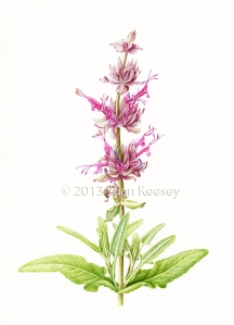 "Joan Keesey, ""Hummingbird Sage"" (Salvia spathacea), watercolor, © 2013, all rights reserved"