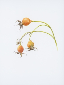 Rose Hips, Jan Clouse, © 2013, all rights reserved.