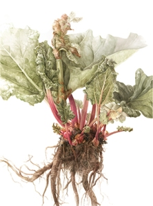 "Elaine Searle, ""Rhubarb"" (Rheum rhabarbarum), watercolor, © 2013, all rights reserved"