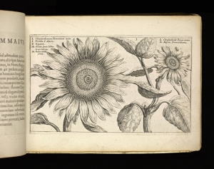 """Chrysanth,"" Crispijn van de Passe, 1614 From Crispijn van de Passe, Hortus floridus (Arnhem, 1614) The Getty Research Institute, 2898-803 Donated by Tania Norris"