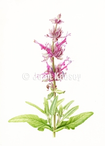 Salvia spathacea, Hummingbird Sage, watercolor by Joan Keesey, © 2013, all rights reserved.