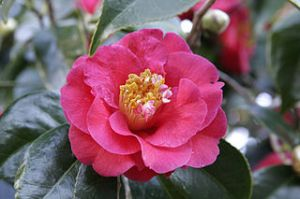 Camellia japonica, taken by fir0002, flagstaffotos.com.au, from Wikimedia Commons. Licensing/copyright: This image is not in the public domain. Under the CC BY-NC: free to copy, distribute, transmit and adapt this work provided that correct attribution is provided.