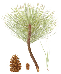 Pinus ponderosa, Ponderosa Pine by Carrie DiConstanzo. Winner of the 2013 Roth Award for distinction with an emphasis on traditional botanical art presentation. © 2014, all rights reserved.