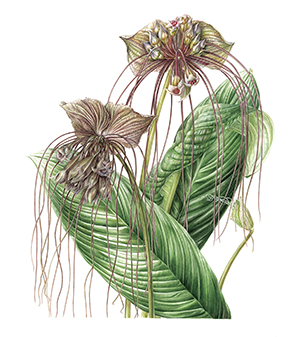 Akiko Enokido, Tacca chantrieri, watercolor. © 2014, all rights reserved.