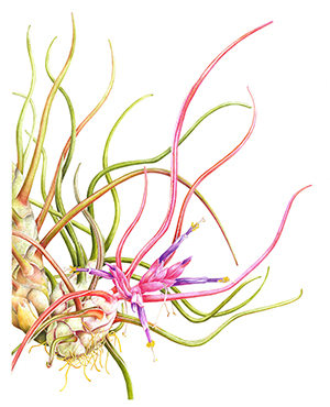 Margaret Best, Tillandsia bulbosa, watercolor. © 2014, all rights reserved.