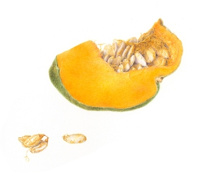 Detail of Cucurbita Maxima, watercolor by Deborah Shaw, © 2014, all rights reserved.