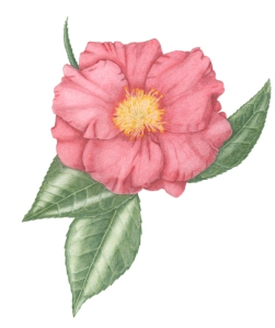 Camellia Grand Prix, by Janice Sharp, colored pencil, © 2014, all rights reserved.