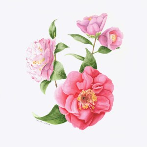 Camellia japonica 'Guilio Nuccio' with Camellia japonica 'Horkan' and Camellia wabisuke 'Sukiya', watercolor by Beth Stone, © 2104, all rights reserved.