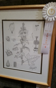 Third place winner, Lesley Randall, pen and ink of Malva assurgentiflora. © 2014, all rights reserved.
