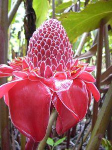 Fiji flower.