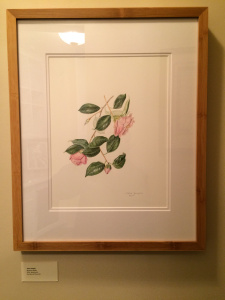 Watercolor of C. japonica 'Berenice Boddy' by Clara Josephs, © 2015, all rights reserved.