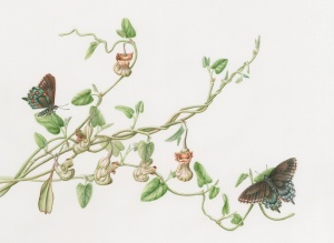 """Dutchman's Pipevine with Pipevine Swallowtail Butterflies"" (Aristolochia californica with Battus philenor), watercolor by Joan Keesey, © 2015, all rights reserved."