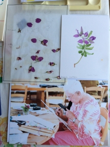 A montage of Leslie Walker's subject: (clockwise from upper left) Polygala myrtifolia, dissection sheet; Leslie's finished painting; Leslie concentrating on her subject. Photo(s) courtesy of Leslie Walker, 2015, all rights reserved.