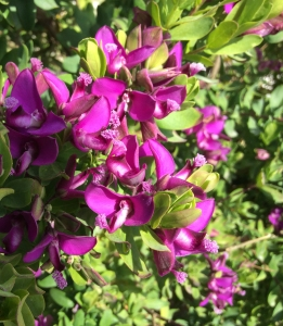Leslie Walker found a beautiful Polygala myrtifolia to paint. Photo credit: Leslie Walker, 2015, all rights reserved.