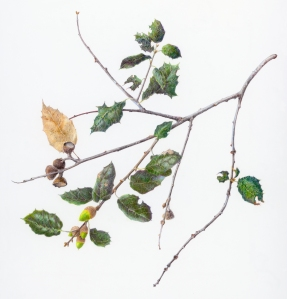 Quercus agrifolia, Coast Live Oak. colored pencil by Jan Clouse, © 2105, all rights reserved.