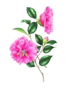 "Gilly Shaeffer, ""Camellia,"" watercolor on paper, 2015, all rights reserved."