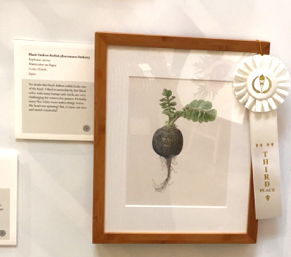People's Choice third place award went to Asuka Hishiki's, Black Daikon Radish (Kuromaru Daikon), Raphanus sativus, watercolor on paper, © 2015 Asuka Hishiki, all rights reserved.