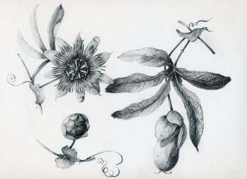 Passion Flower study, Olga Eysymontt, © 2008, all rights reserved.
