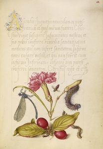 Damselfly, Carnation, Firebug, Caterpillar, Carnelian Cherry, and Centipede; Joris Hoefnagel (Flemish / Hungarian, 1542 - 1600), and Georg Bocskay (Hungarian, died 1575); Vienna, Austria; 1561 - 1562; illumination added 1591 - 1596; Watercolors, gold and silver paint, and ink on parchment; Leaf: 16.6 x 12.4 cm (6 9/16 x 4 7/8 in.); Ms. 20, fol. 68. Digital image courtesy of the Getty's Open Content Program.