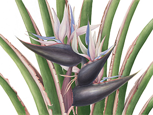 Gilly Shaeffer, Strelitzia nicolai, watercolor on paper © 2015, all rights reserved.