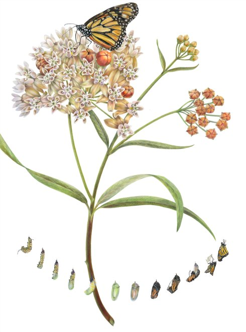 First place Peoples' Choice award: Asclepias fascicularis, Narrowleaf milkweed with Danaus plexippus by Estelle DeRidder, © 2015, all rights reserved.