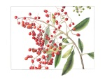 Heteromeles arbutifolia, Toyon by Gilly Shaeffer, © 2015, all rights reserved.
