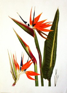 Second place Peoples' Choice award, Strelitzia reginae, Bird of Paradise by Lori Vreeke, © 2015, all rights reserved.