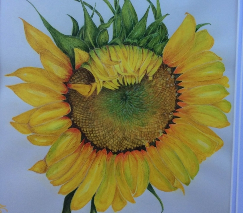 Sunflower, colored pencil and watercolor, Nancy Grubb, © 2015, all rights reserved.